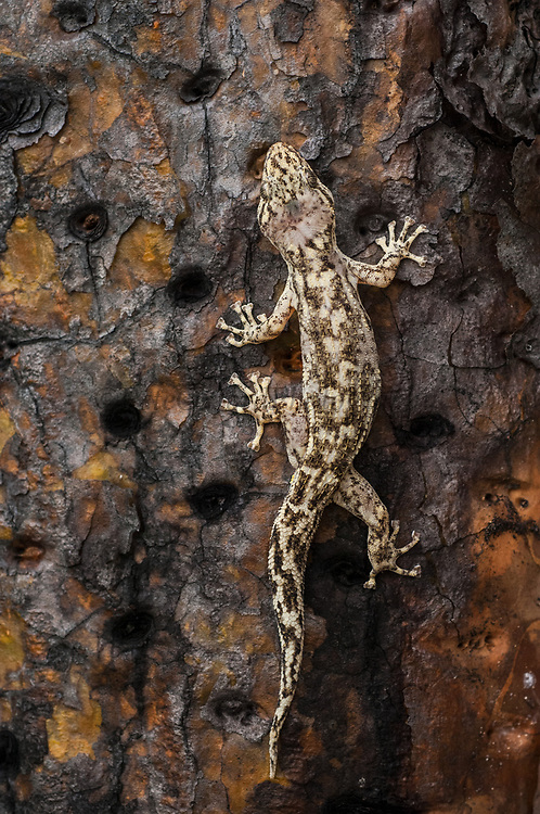 Galapagos Leaf-toed Gecko (Phyllodactylus galapagoensis)<br /> Puerto Ayora, Santa Cruz Island, GALAPAGOS,  Ecuador, South America