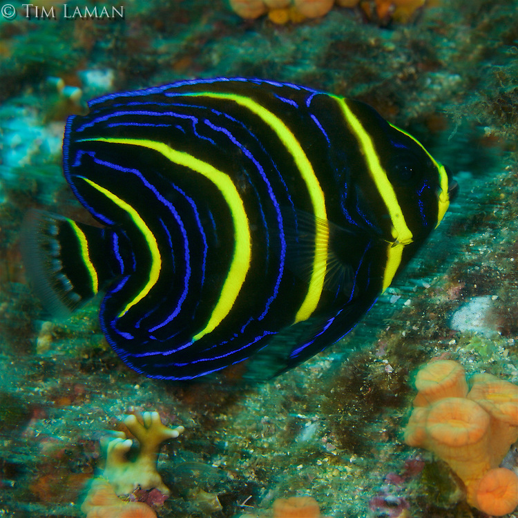 Cortez Angelfish (Pomacanthus zonipectus) juvenile color form.<br /> Example of regional endemic, special to Eastern Tropical Pacific.<br />