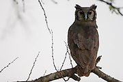 Spotted Eagle Owl perched in tree, Hluhluwe, South Africa.