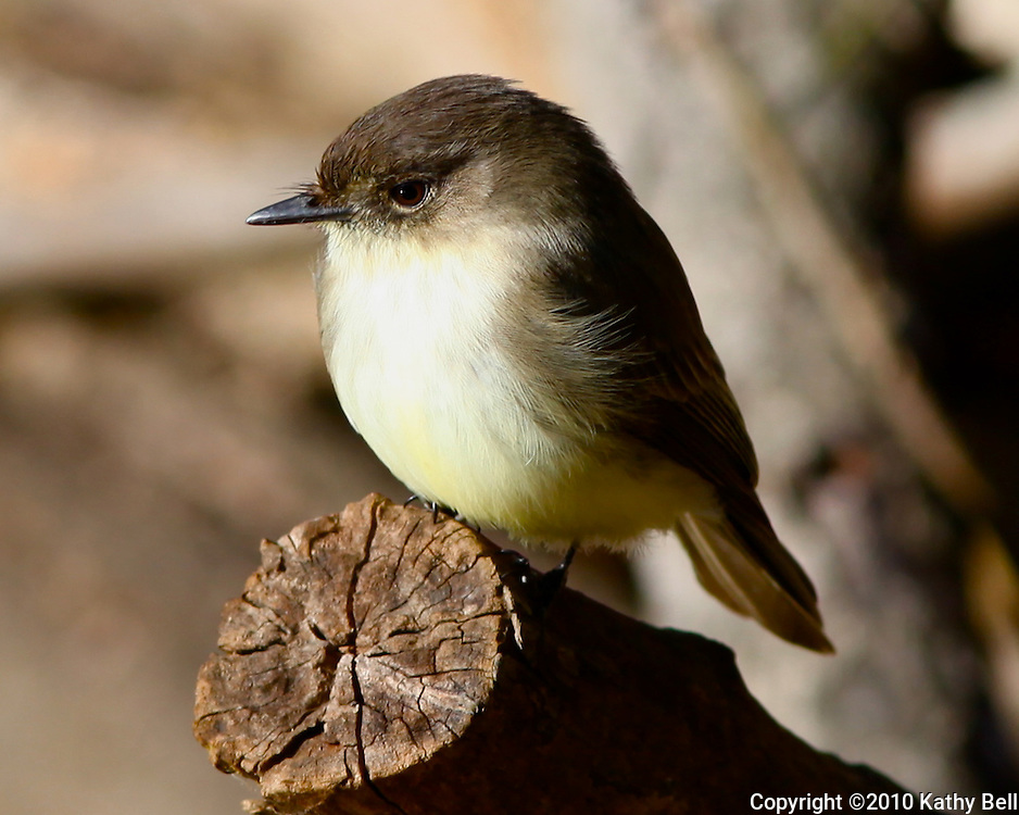 Image of a phoebe