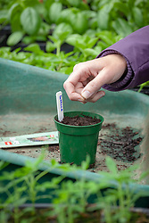 Sowing lettuce seeds in a pot in the greenhouse