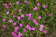 Europa, Deutschland, Nordrhein-Westfalen, Troisdorf, Heide-Nelken (Dianthus deltoides) in der Wahner Heide. - <br /> <br /> Europe, Germany, Troisdorf, North Rhine-Westphalia, maiden pink (Dianthus deltoides) in the Wahner Heath.