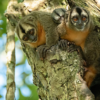 A family of night monkeys roost in a tree above Nauta Creek off of the Maranon River in the Peruvian Amazon.