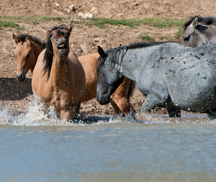 Wild horses splashing to cool off