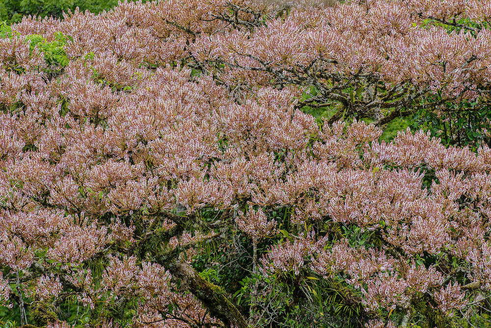 Amazon forest canopy, foliage and flowers of  Chaperno [Lonchocarpus macrophyllus; Fabaceae]; Yasuni National Park, Ecuador