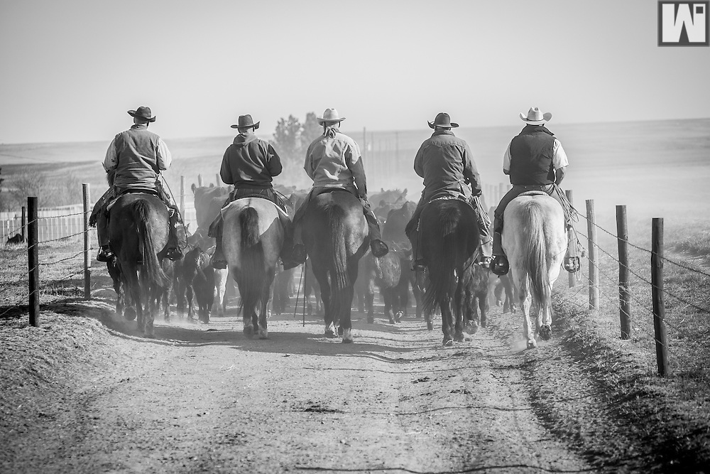 Cowboys trailing cattle down alley way at the 2007 McNamee Branding in Pine Bluffs, Wyoming. Model releases available for all cowboys.