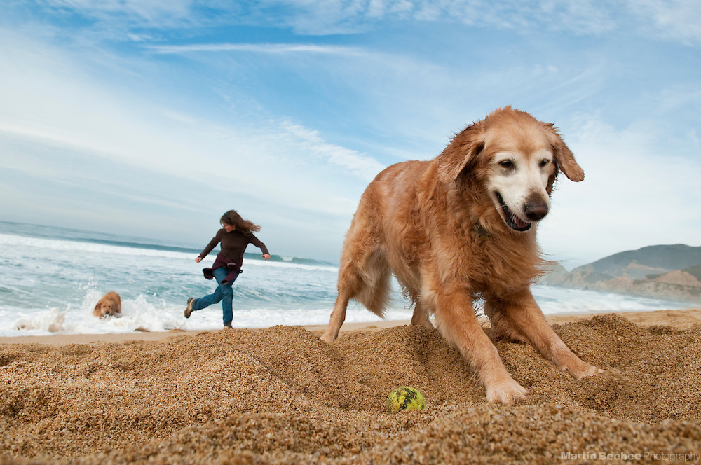 A woman plays with her dogs (golden retrievers) at the beach, California