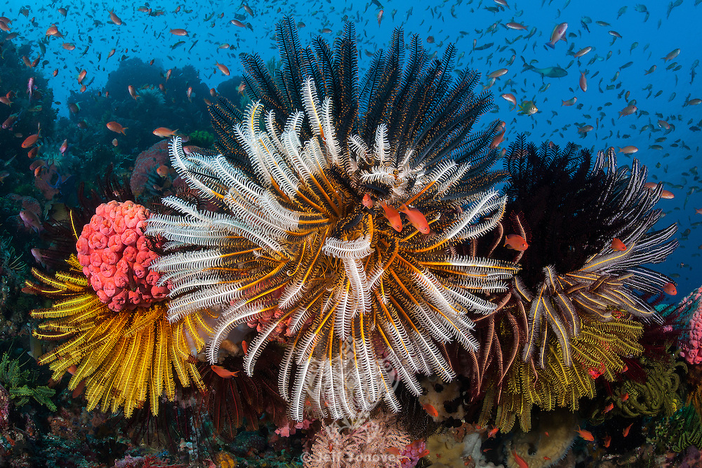 Crinoids and Reef fish create an explosion of color<br /> <br /> <br /> <br /> Shot in Indonesia