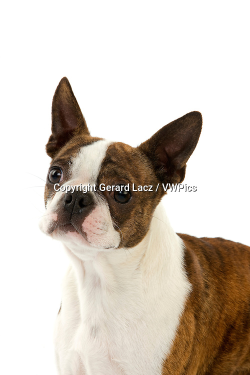 Boston Terrier Dog, Portrait of Adult against White Background