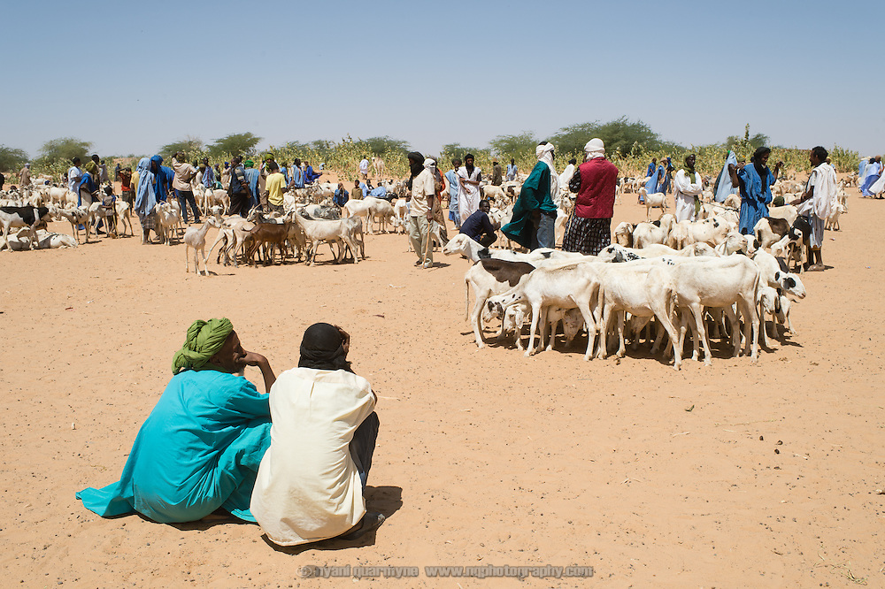 Goats for sale at a market in Mbera, Mauritania on 8 March 2013. The market is located in the 'village' of Mbera - the site of the original refugee camp created for Malian refugees fleeing conflict in the early 1990s. It now serves the village as well as the new refugee camp, which is home to approximately 70 000 refugees who have fled the current conflict. Most of the residents of Mbera traditionally consume a diet of milk and meat, but rations provided are of rice. Many refugees sell or barter their rations in the attempt to purchase meat and milk from goats such as these.