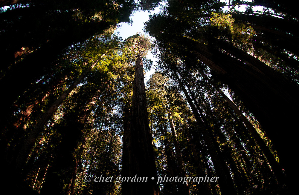 Redwoods in the Jedidiah Smith Redwoods State Park in Crescent City, CA on Monday, July 25, 2016.  © Chet Gordon • Photographer
