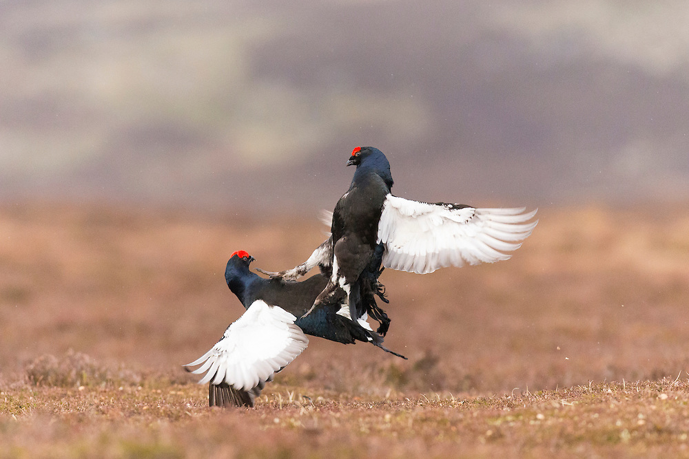 Black Grouse (Tetrao tetrix) two males fighting at lek site on moorland in spring