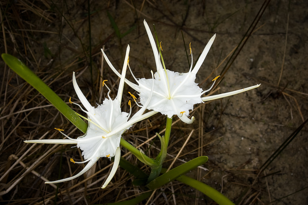 "The exotic and unusual alligator lily growing out of a swampy region in the Florida Everglades. These flowers are freshly opened, and naturally have this ""ragged"" edge."