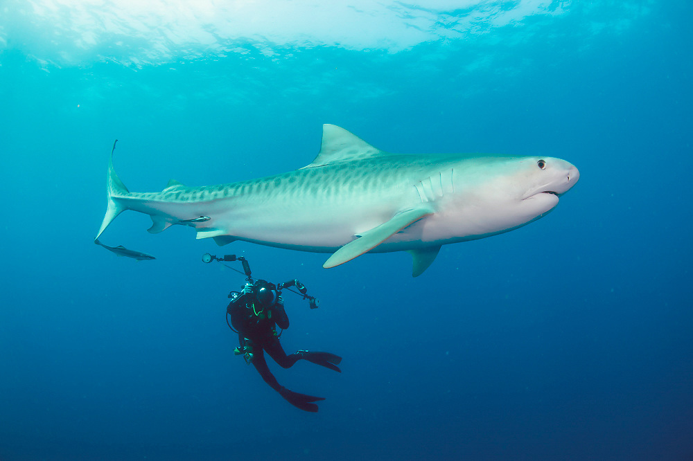 An underwater photographer photographs a Tiger Shark, Galeocerdo cuvier, during a shark dive in Federal waters offshore Jupiter, Florida, USA