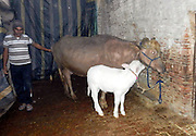 Brown buffalo gives birth to a white calf ,  one in a  million chance.<br /> <br /> A brown buffalo gave birth to a white calf in India, The veterinary doctor said that the case is one in a million after the birth word spread which has now increased his market value.<br /> <br /> This is buffalo's third delivery, first buffalo born was brown female calf second born was a black male calf and third time white female calf.<br /> ©Exclusivepix Media