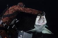 A diver hand feeds a Lemon Shark at night<br /> Shot in Bahamas