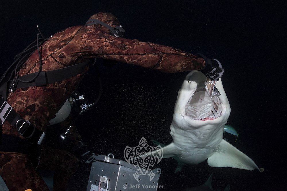 A diver hand feeds a Lemon Shark at night<br /> Shot in Bahamas