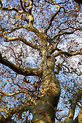 The trunk and canopy of gloriously conorted branches of an ancient Oriental Plane tree (Platanus orientalis) in late Autumn.<br />