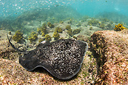 Marbled Ray (Taeniura meyeri)<br /> GALAPAGOS ISLANDS,<br /> Ecuador, South America
