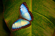 National Butterfly of Costa Rica, Blue Morpho