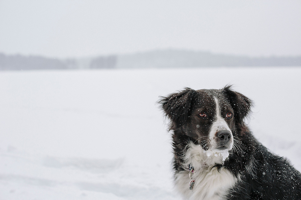 Black and white Australian shepherd on snowy lake