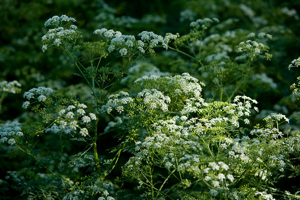 Stock photo of wild native foliage with white flowers in the Texas Hill Country