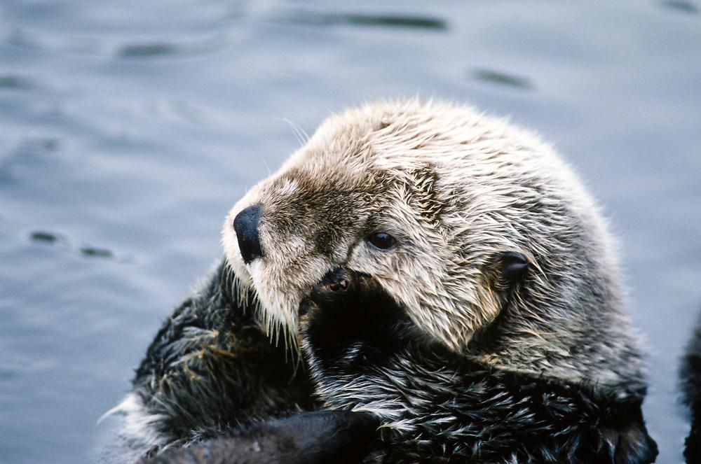 Alaska. Sea otter (Enhydra lutris).