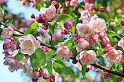Nederland, Ubbergen, 19-4-2011Een boom in onze tuin staat prachtig in bloei.Foto: Flip Franssen/Hollandse Hoogte
