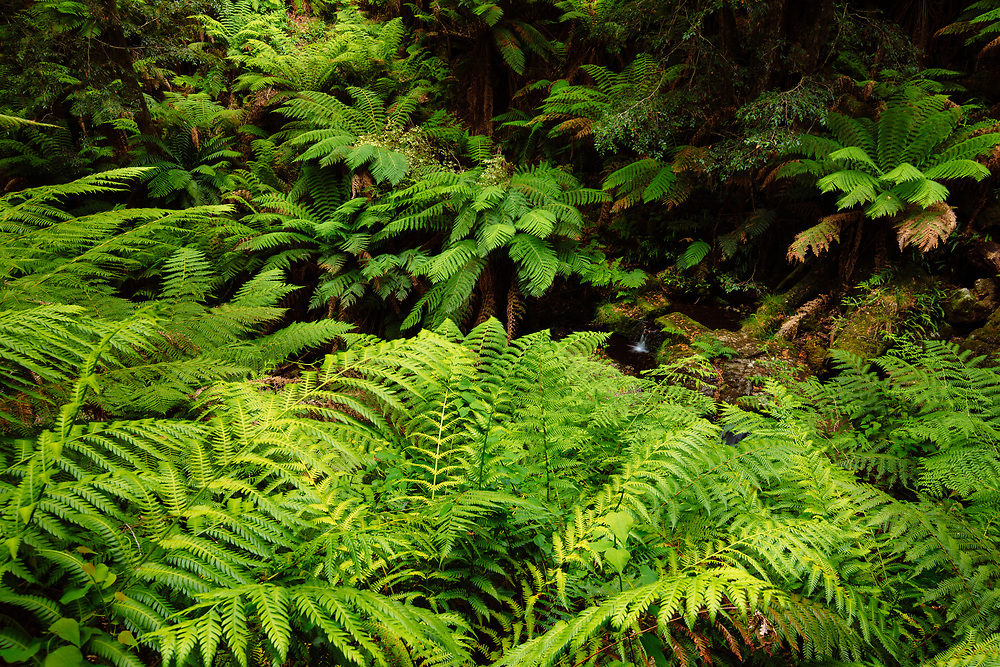 A dense community of Soft Tree Fern's (Dicksonia antarctica) growing along a small stream in the Gloucester Tops area of Barrington Tops National Park.
