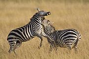 Plains Zebra<br /> Equus burchelli<br /> Stallions fighting<br /> Masai Mara Reserve, Kenya