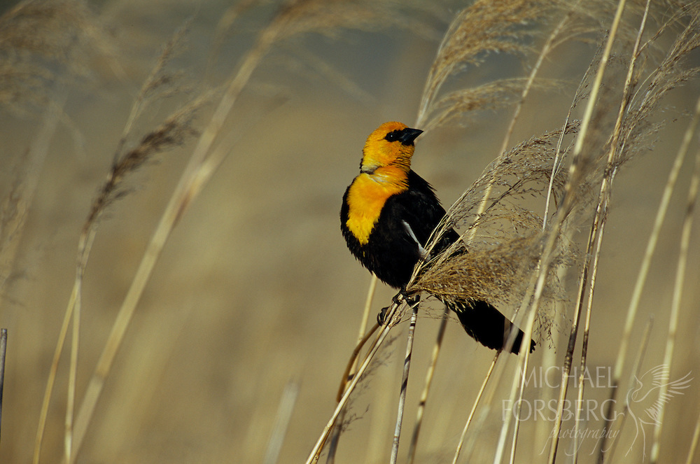 Yellow-headed blackbird. Crescent Lake National Wildlife Refuge, Nebraska.