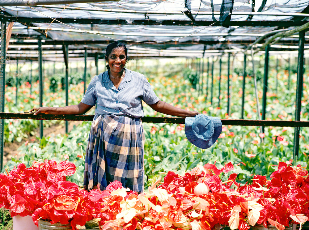 Plant nursery worker woman with Anthurium andraeanum plants grown for export on Indian Ocean island of Mauritius