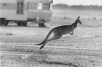 """Kangaroo Harvesting In Australia"".A kangaroo hops away looking for some feed on the grass lawns of homes in the town of Hebel during the draught of 2002. . Kangaroos mainly travel in mobs and have a compete and complex social structure. The quotas for killing kangaroos set by the Federal government have increased stedily over the years..There are 48 species of kangaroos and the most common 4 species are harvested on a commercial basis...The main species killed are red kangaroos (50% of total),.eastern grey ( one third of total) Western Grey ( around 10% of total) and wallaroo or euro (10% of total)"