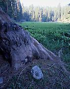 Giant Forest, Meadow, Sequoia Trees, Sequoia Tree, Sequoia, Sequoia Grove, Sequoia and Kings Canyon National Park, California
