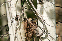 A Mourning Dove sits on its nest that was assembled between two Aspen trees in northern Utah.