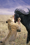 Lion<br /> Panthera leo<br /> Female attacking cape buffalo<br /> Ngorongoro Conservation Area, Tanzania
