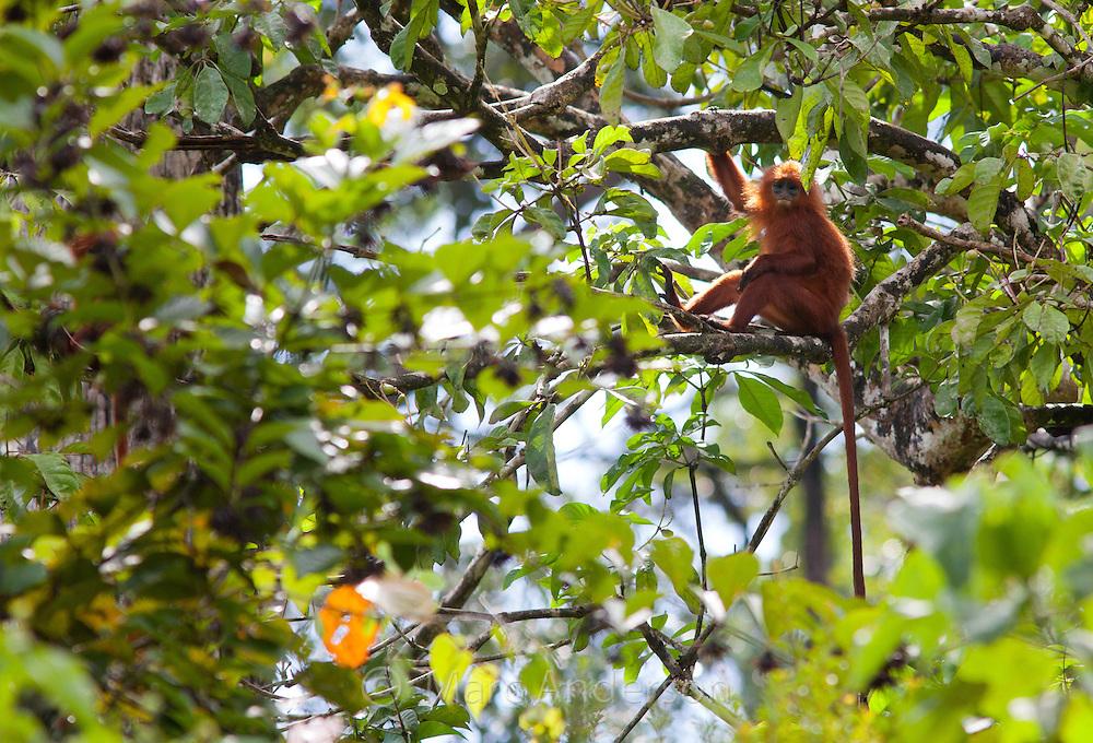 Red Leaf Monkey (Red Langur), Presbytis rubicunda, sitting in a tree, Sabah, Malaysia