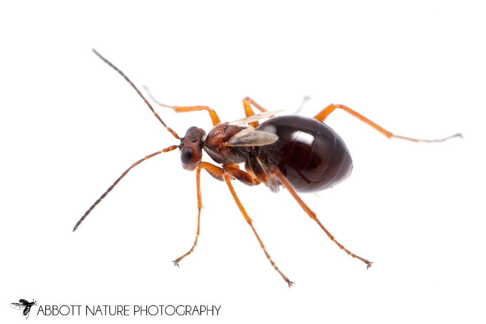 Gall Wasp (Acraspis, Philonix, Phylloteras, or Trigonaspis) - female<br /> TEXAS: Harrison Co.<br /> Caddo Lake State Park<br /> Karnack<br /> 28-Nov-2014<br /> J.C. Abbott &amp; K.K. Abbott