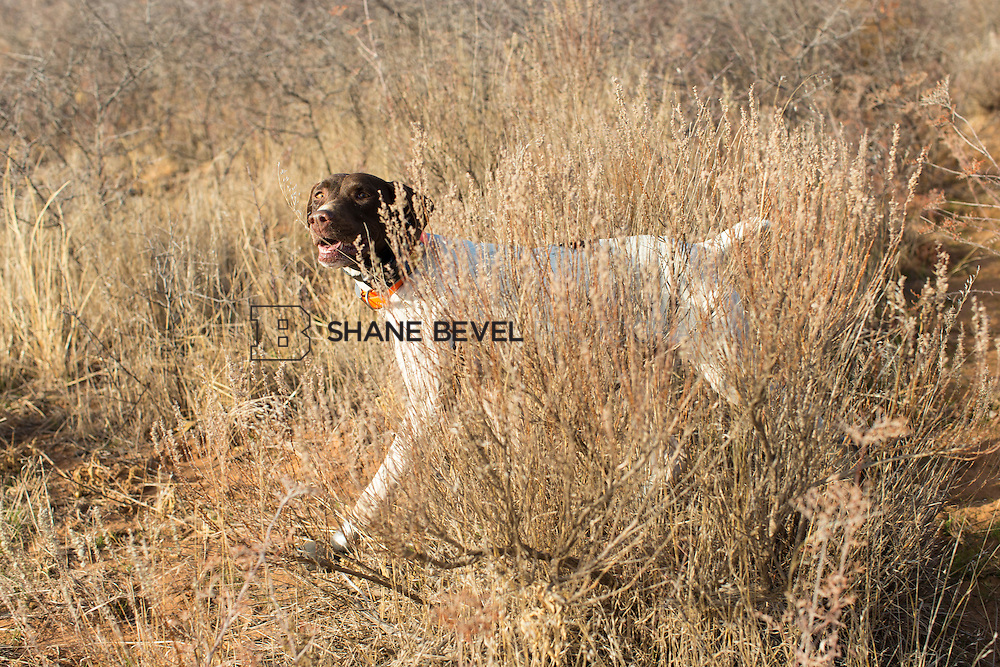 12/8/12 11:16:37 AM -- Quail hunting on the Cimarron Hills WMA in western Oklahoma. <br /> <br /> Photo by Shane Bevel