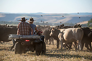 Ranchers riding an all terrain vehicle through a cattle herd, Wallowa Valley, Oregon.