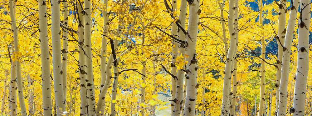 Aspen in fall foliage, Targhee National Forest.