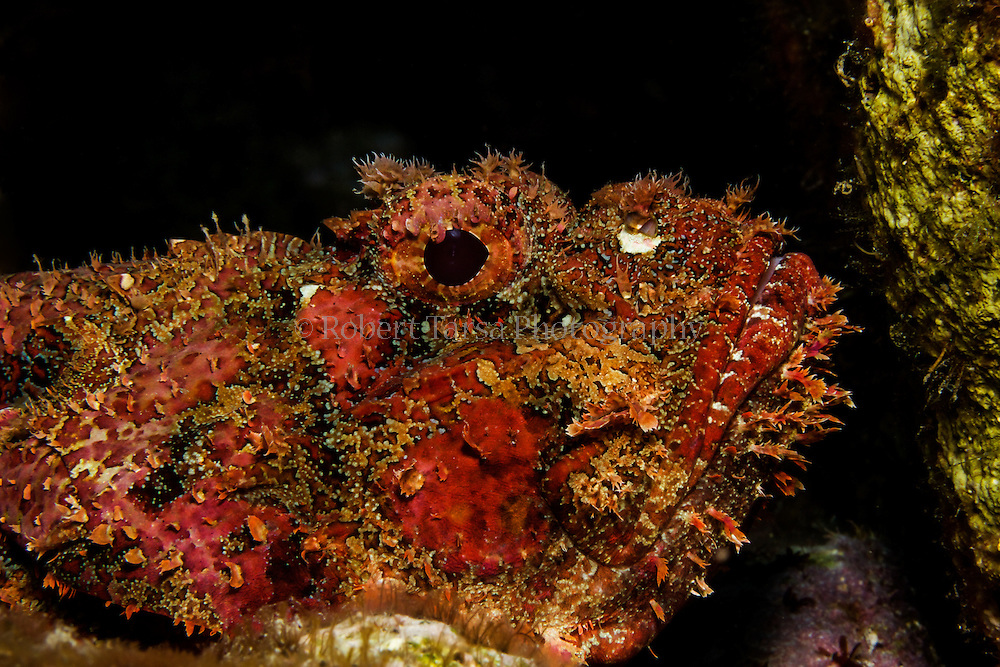 Spotted scorpion fish hunting on Caribbean reef.