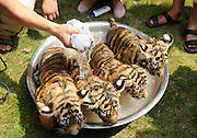 YANGZHOU, CHINA - JULY 31: (CHINA OUT) <br /> <br /> Tiger Cubs Keep cool in Summer<br /> <br /> A worker bathes four tiger cubs to help them defend the hot weather at Yangzhou Zoo on July 31, 2014 in Yangzhou, Jiangsu Province of China.<br /> ©Exclusivepix