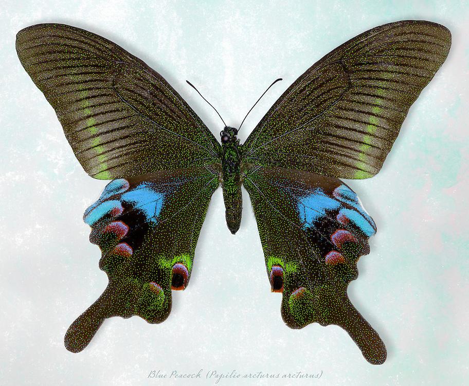 Blue Peacock Butterfly (Papilio arcturus v. arcturus) / #LPD183b