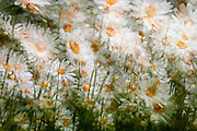 a motion blur and hesitation during motion in one exposure daisies abstract