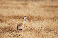 A Sandhill Crane walks the open marshlands feeding on insects like midges and mosquitoes.