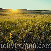 wild short grass prairie montana,