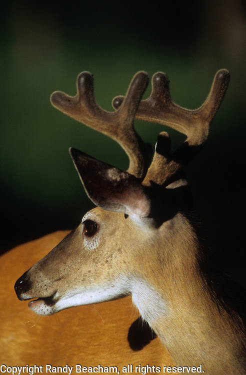 Whitetail buck in velvet. Yaak Valley in the Purcell Mountains, northwest Montana.