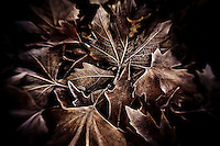 Frost-covered leaves that have been swept together by the wind.