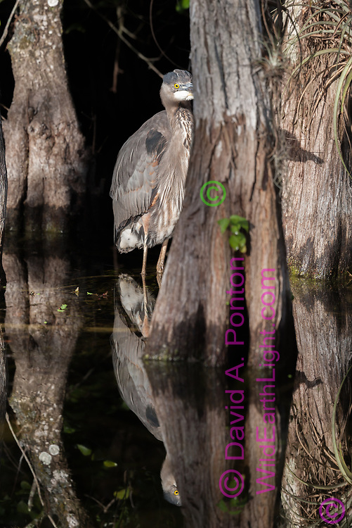 Great blue heron among cypress trees, hiding behind one, with shadow on another. Big Cypress National Preserve, Florida. © 2007 David A. Ponton